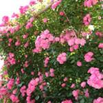 バラ アンジェラ フロリバンダ種