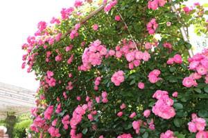 四季咲き~返り咲きになる