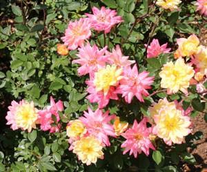 ベビー マスカレードは四季咲きです
