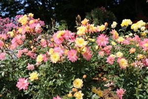 バラ ベビー・マスカレード ミニチュア種