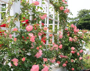 リバプール エコーは春の花後も咲き続ける
