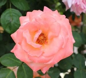 ルーピングは開花すると褪色しやすい品種