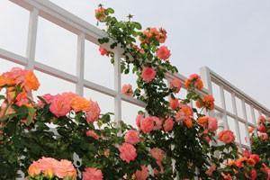 ルーピングは半剣弁高芯咲きの花を咲かせます