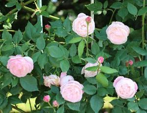 マダムピエールオジェは返り咲き品種