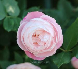 マダムピエールオジェはブルボン系統のバラ