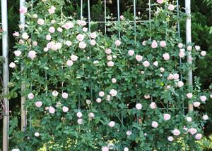 マダムピエールオジェはMadame Pierre Ogerが作出したバラです