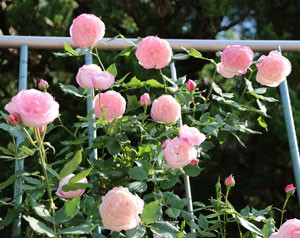 マダムピエールオジェの花形はカップ咲き