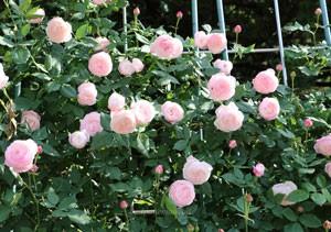 マダムピエールオジェはピンク色の中輪サイズ