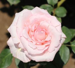 大輪咲きで花弁数は最大26~40枚になる