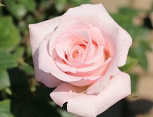 花枝が長く伸びるので生け花用として人気があるバラ