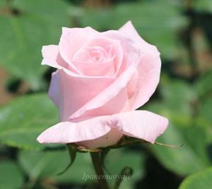 花芯がきりりと巻いて見事に整った花姿です