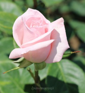 清楚な印象のバラといえばメルヘンケーニギンです