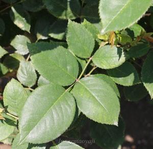 明るい緑色の葉は丸味のある形です