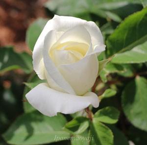 アイボリー色の半剣弁高芯咲き