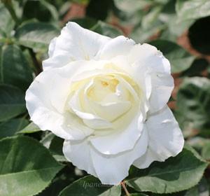 正雪はハイブリッドティー系統のバラ