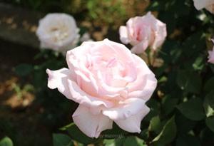四季咲き大輪サイズのバラ