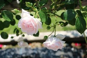 ニュー  ドーンは大輪咲きつるバラ系統