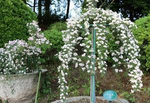 のぞみは強健性で枝の伸長が活発です