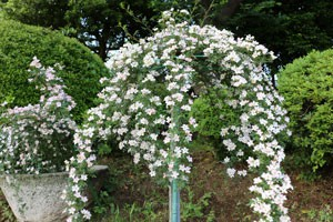のぞみは一季咲き品種です