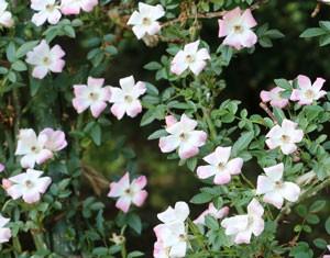 のぞみは小輪一重咲き品種です