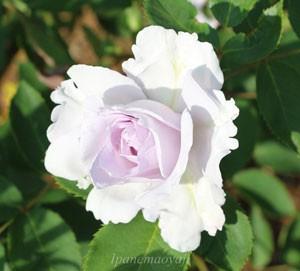 オンディーナはフロリバンダ系統のバラです