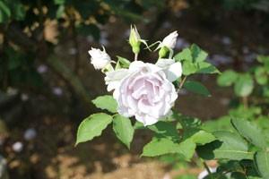 オンディーナは中輪サイズの丸弁平咲きです