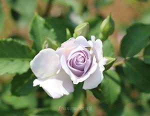 淡い青紫色は草花のような可憐さがあるバラですね
