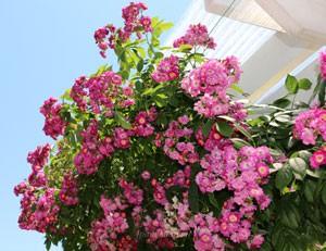 ペレにアル ブルーはローズ色の丸弁咲きの小輪花です