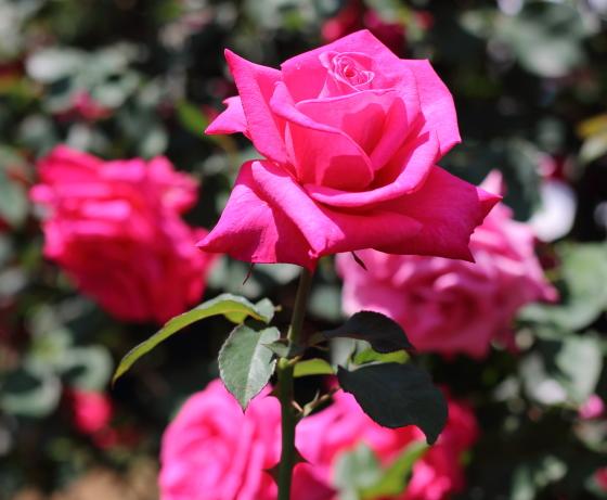 ペーター フランケンフェルトの花枝が太く花もちもよい