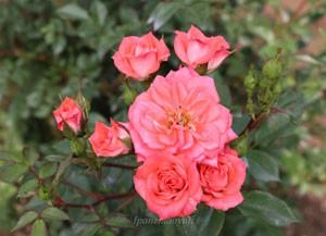 プティトゥ フォリは花径が約3cmのミニバラです