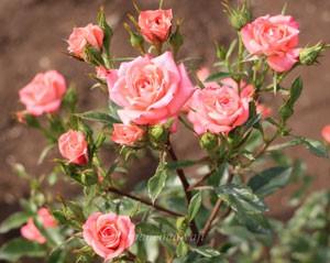 プティトゥ フォリは四季咲き性です