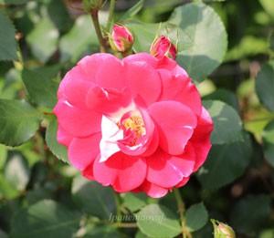 ピカソは朱色で中輪サイズの花弁