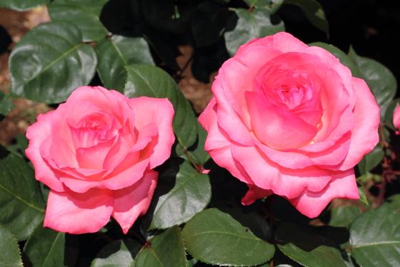 ピンク パンサーは四季咲き性です