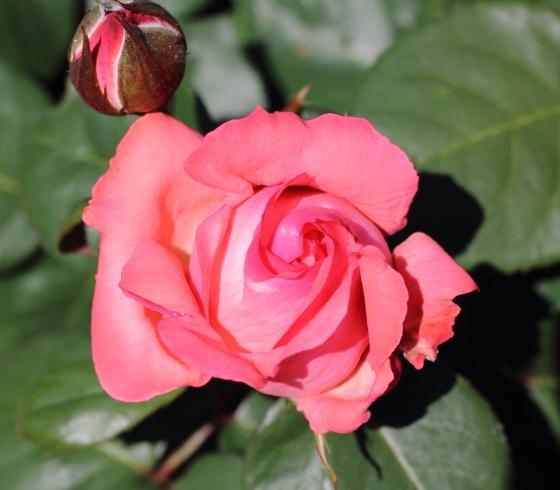 ピンク パンサーは花径が約12cmです