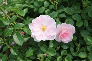 クィーン・マザーは四季咲き性が強い