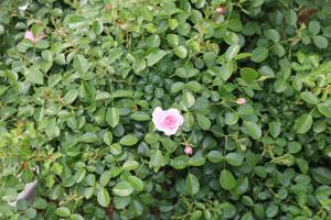 クィーン・マザーの花径は4cm程の小輪サイズ