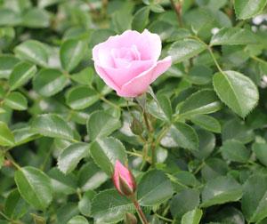 クィーン・マザーは半八重平咲き