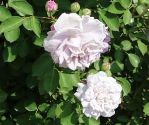 レイニー ブルーはシュラブ系統のバラです