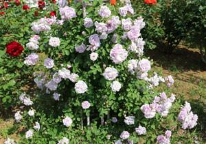 レイニーブルーは枝がしなやかで支柱への誘引がしやすいバラ