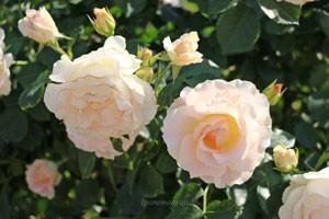 数輪の房咲きになり花つきがよい品種です