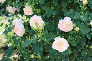 ロココはゆるいカップ咲きのバラ