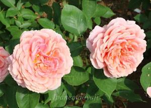 ロマンティック アンティークはハイブリッド・ティ系統のバラです