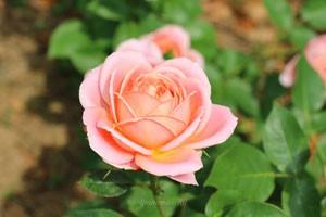花枝が真っ直ぐに伸びてトゲが少ないので切り花用に適する
