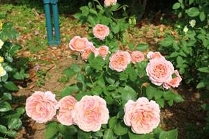 ロマンテック アンティークはオールドローズの雰囲気がある花形