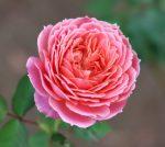 杏色とピンク色がミックスした個性的な花色のバラ