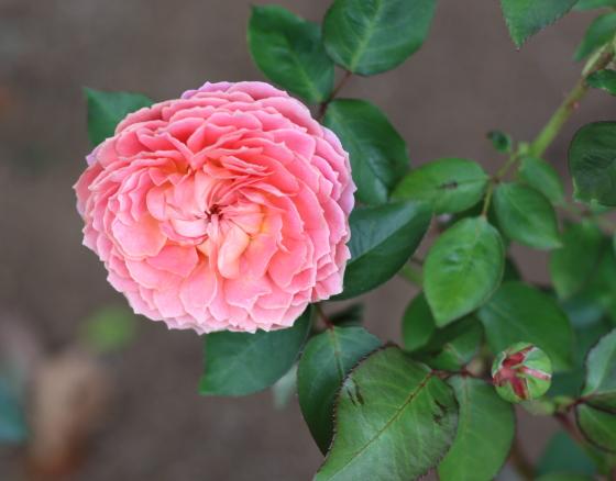ロマンティック アンティークは弁質が繊細で傷みやすい