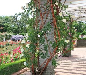 キモッコウバラの八重咲きは芳香はないです