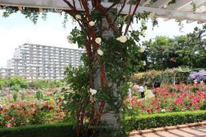 キモッコウバラは中国原産の原種のバラです