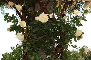 キモッコウバラの枝は350cm以上にも伸長します