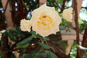 キモッコウバラは花もちのよい品種